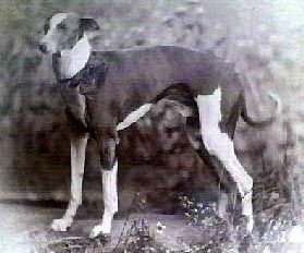 1885 Whippet Photo