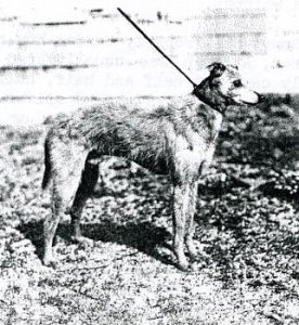 Rough Haired whippet